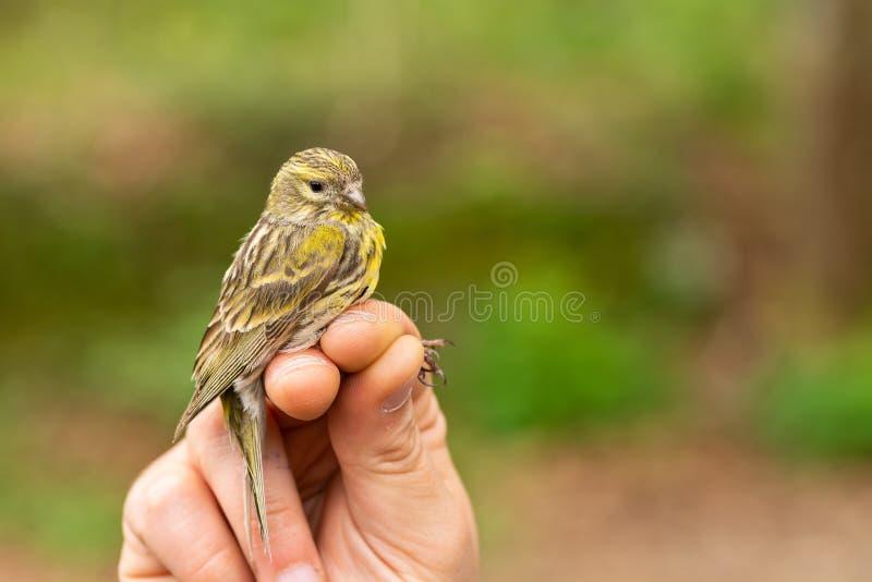 拿着在鸟条带的欧洲serin雀类雀类/敲响会议的科学家 库存照片