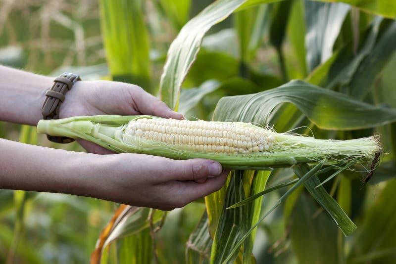拿着在麦地的农夫妇女的手新鲜的甜玉米 免版税库存图片