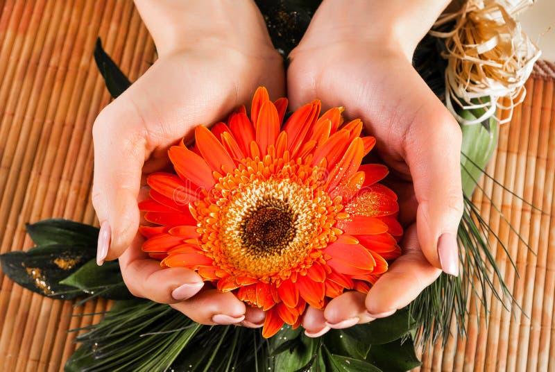 拿着大丁草桔子花的女性手 库存图片