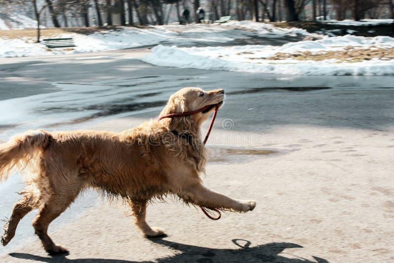 拿着它的皮带的美丽的金毛猎犬小狗愉快在冬天 图库摄影
