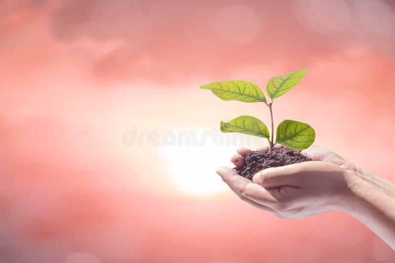拿着完善的生长树植物的人的手 免版税库存图片