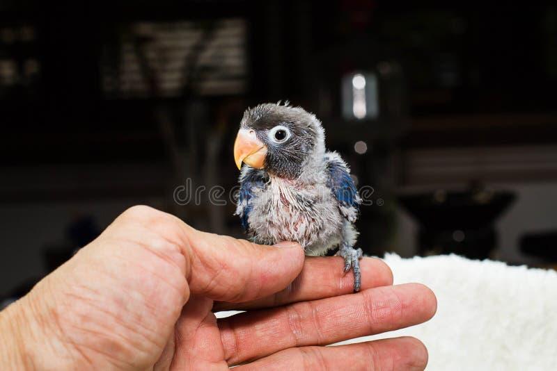 拿着小鹦鹉爱情鸟选择聚焦的手 库存图片