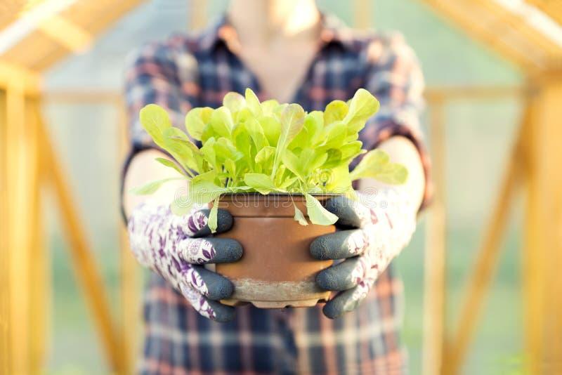 拿着年轻莴苣罐的妇女在莴苣植物中 有机加尔德角 图库摄影
