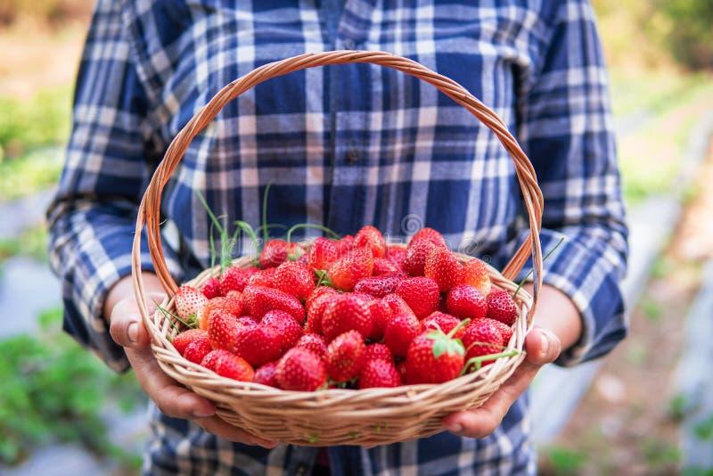 拿着成熟草莓的花匠 库存照片