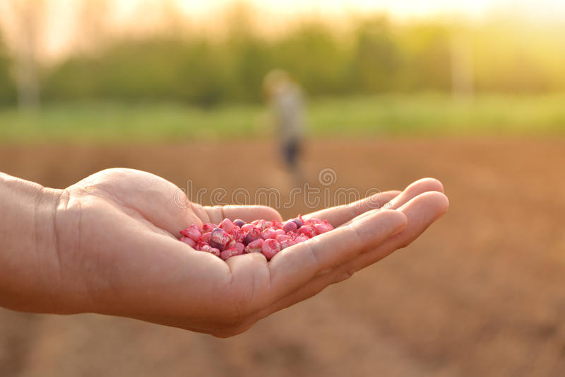 拿着播种的农夫手玉米种子在庭院里 免版税库存照片