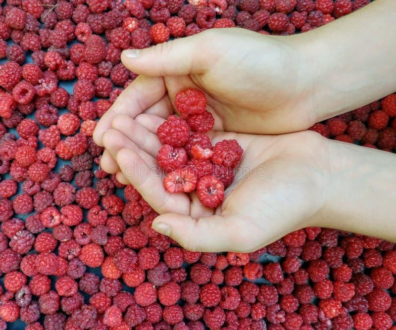 拿着新鲜的被采摘的莓的手 免版税库存图片