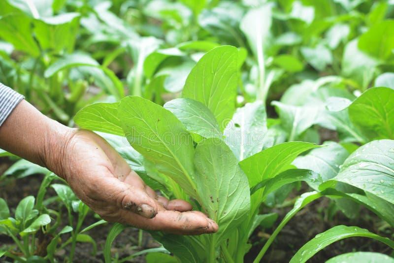 拿着新鲜的莴苣的花匠的手广东在农场 免版税库存图片