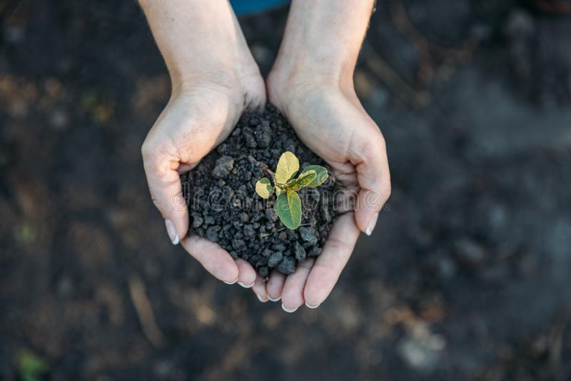 拿着有土壤的手年幼植物 免版税库存照片