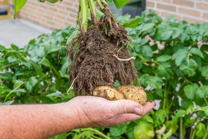 拿着本地出产的土豆的手 免版税库存照片