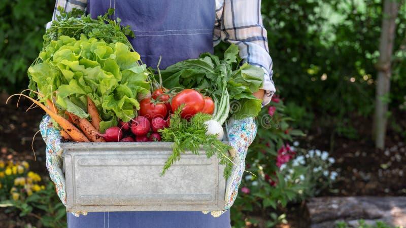 拿着条板箱的无法认出的女性农夫有很多新近地被收获的菜在她的庭院里 本地出产的生物产物概念 图库摄影