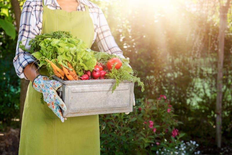 拿着条板箱的无法认出的女性农夫有很多新近地被收获的菜在她的庭院里 本地出产的生物产物 免版税库存图片