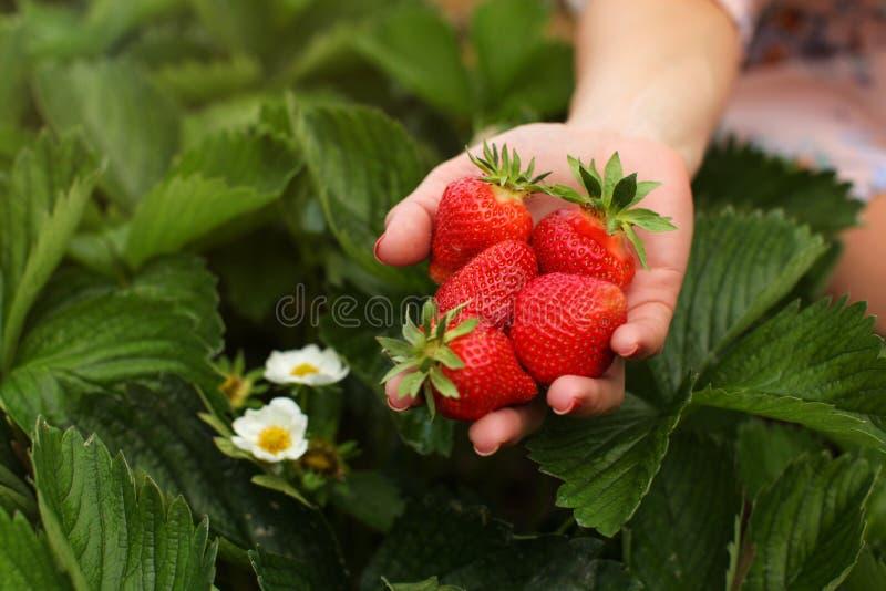 拿着极少数在sel的新近地摘的草莓的妇女手 免版税库存图片