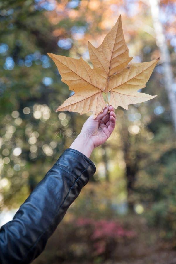 拿着桔黄色秋天叶子的手反对树图片