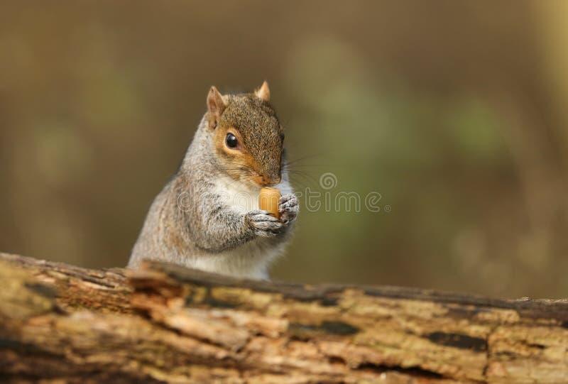 拿着橡子的一逗人喜爱的灰色灰鼠Scirius carolinensis的幽默射击托起在它的爪子 免版税图库摄影