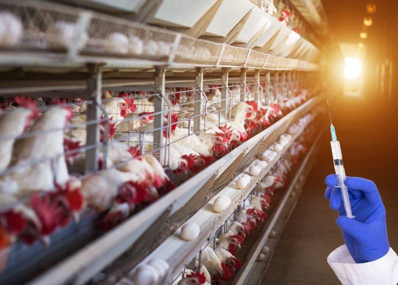 拿着注射器的医生以抗生素和激素为背景的家禽场概念在鸡鸡蛋 免版税库存图片