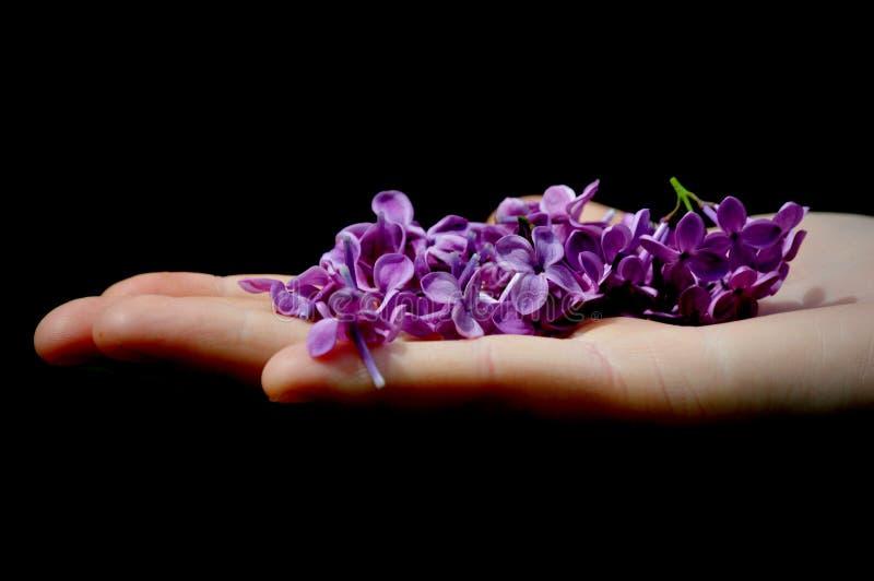 拿着淡紫色花的手 库存图片