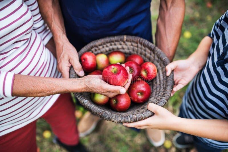 拿着篮子的无法认出的资深人有很多苹果在果树园 免版税库存照片