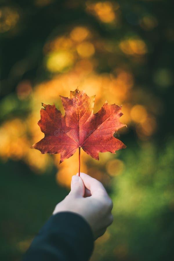拿着红槭叶子的女性手图片