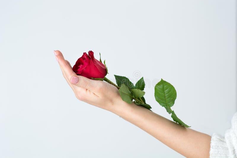 拿着红色玫瑰色花的柔和妇女手被隔绝在白色 免版税库存图片