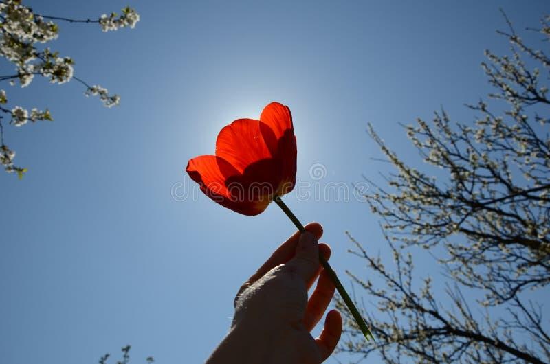 拿着红色郁金香的妇女反对太阳 在公园的晴朗的温暖的天 免版税库存图片