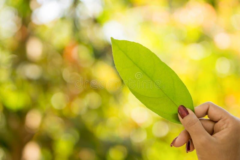 拿着绿色叶子的妇女手反对美丽的秋天树在有阳光的一个森林里 免版税库存照片
