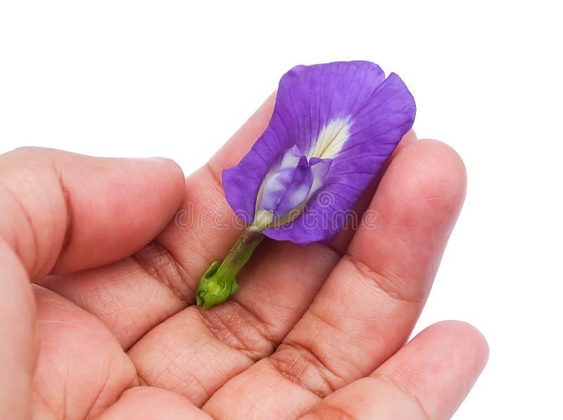 拿着美丽的紫色蝴蝶豌豆花的手 库存照片
