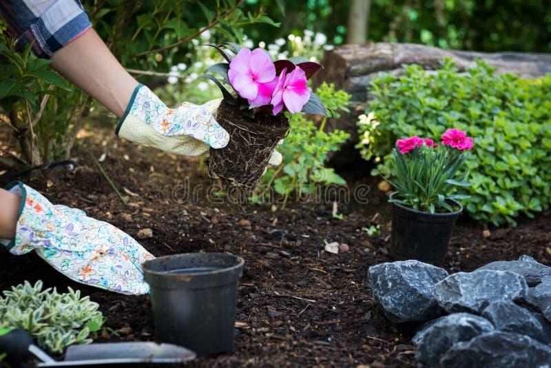 拿着美丽的花的无法认出的女性花匠准备好在庭院里被种植 概念从事园艺 庭院环境美化 图库摄影