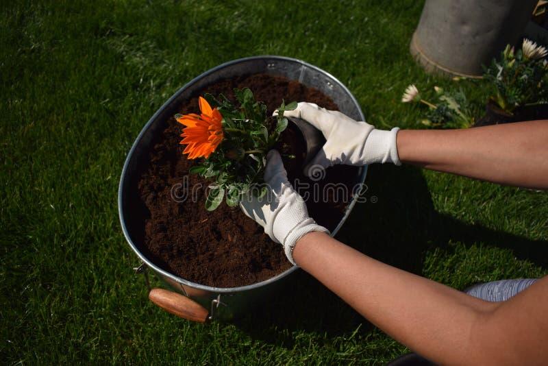 拿着美丽的花的无法认出的女性花匠准备好在庭院里被种植 免版税图库摄影
