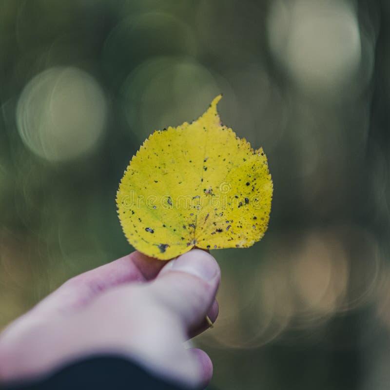 拿着色的秋天树叶子的人的手 免版税库存照片