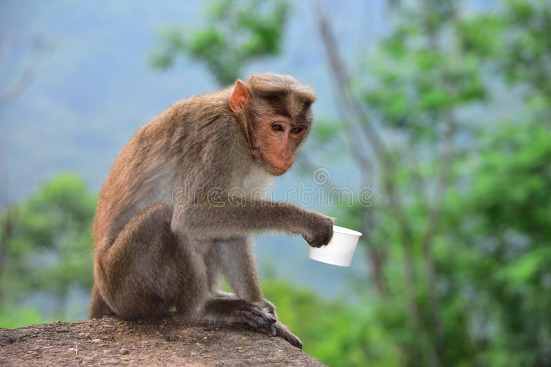 拿着茶杯的猴子 免版税库存图片