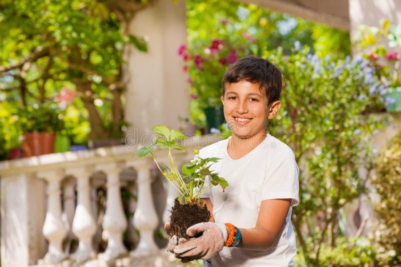 拿着草莓植物的从事园艺的手套的男孩 免版税库存图片