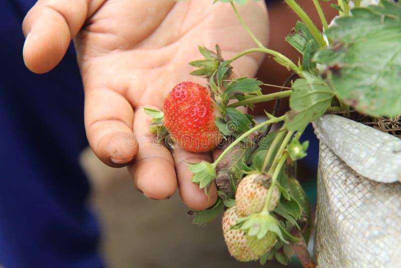 拿着草莓植物,版本2 免版税库存照片