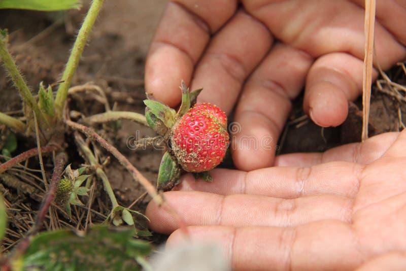 拿着草莓植物,版本3 库存图片