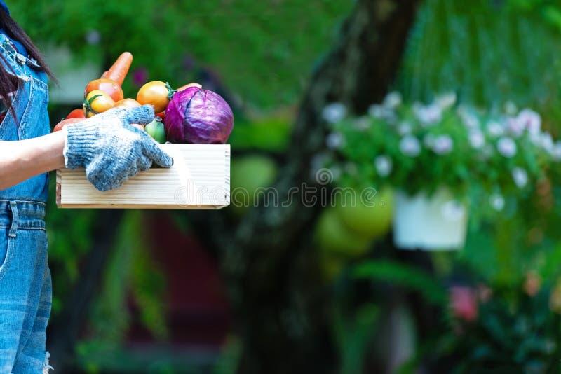 拿着菜的篮子接近的手妇女农夫有机在葡萄园里户外 免版税库存照片