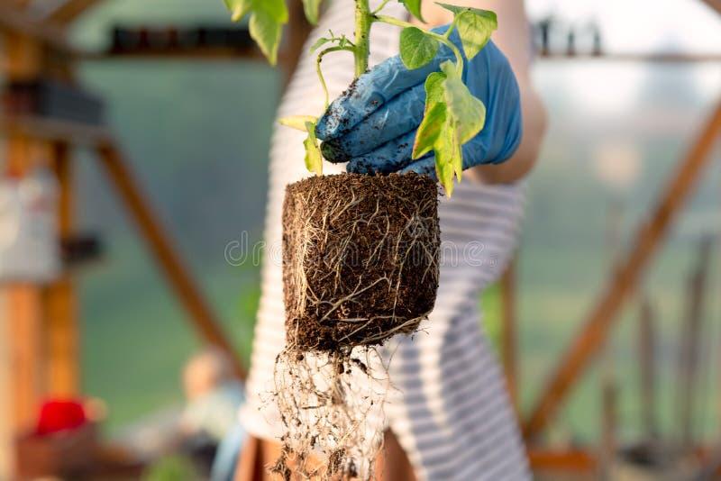 拿着蕃茄幼木的妇女的手自温室 有机从事园艺和成长概念 库存照片