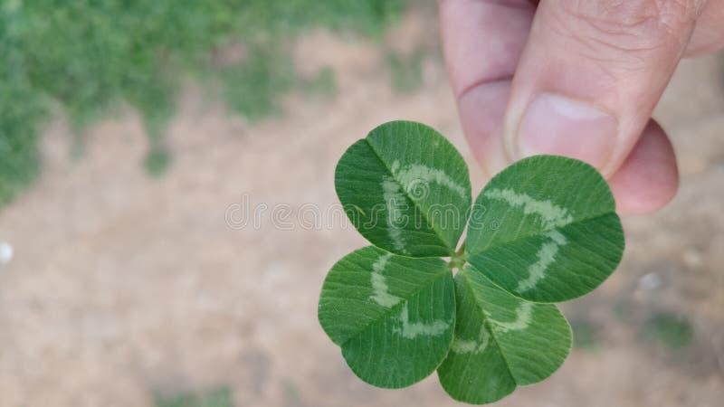 拿着象征爱的一棵四叶三叶草 免版税图库摄影