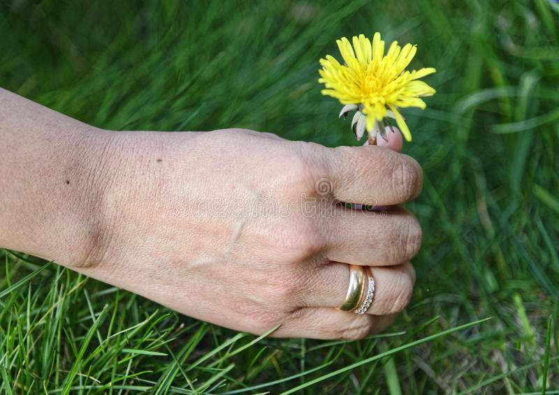 拿着雏菊花的妇女 免版税库存图片