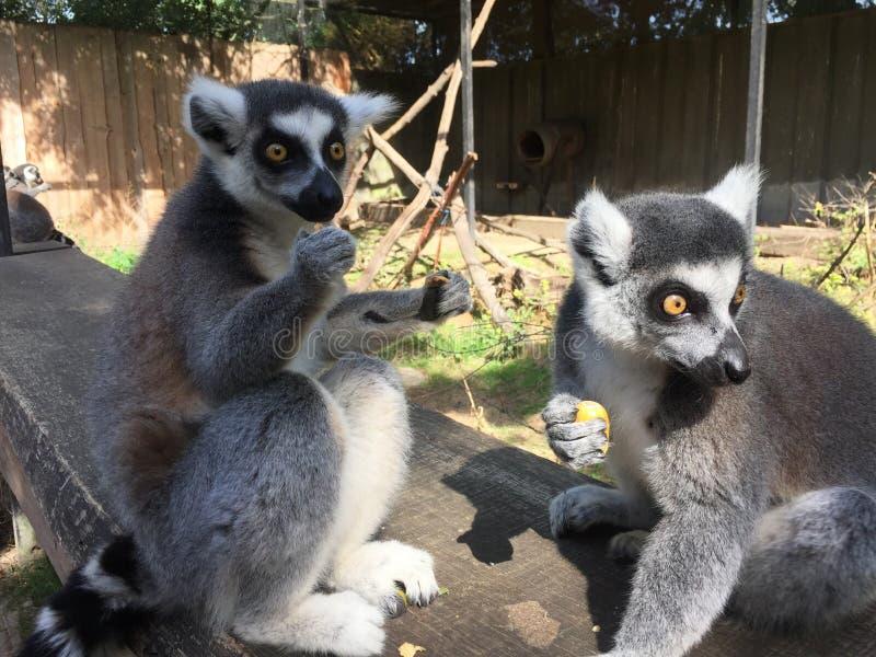 拿着食物的两只狐猴猿 库存照片
