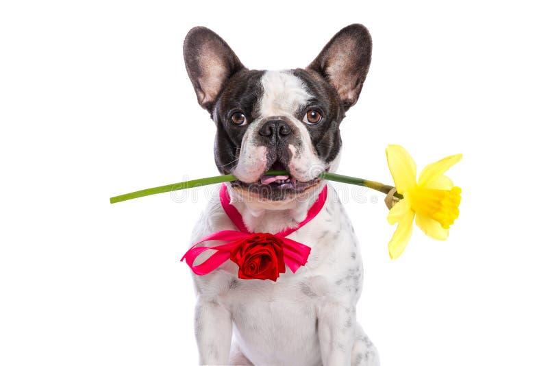 拿着黄色花的法国牛头犬作为礼物 免版税库存照片