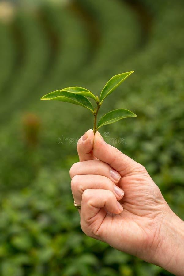 拿着绿茶新鲜的叶子的手 收获茶园图片