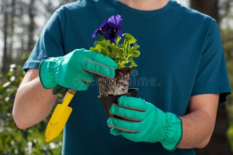 拿着蝴蝶花幼木的男性手 库存图片