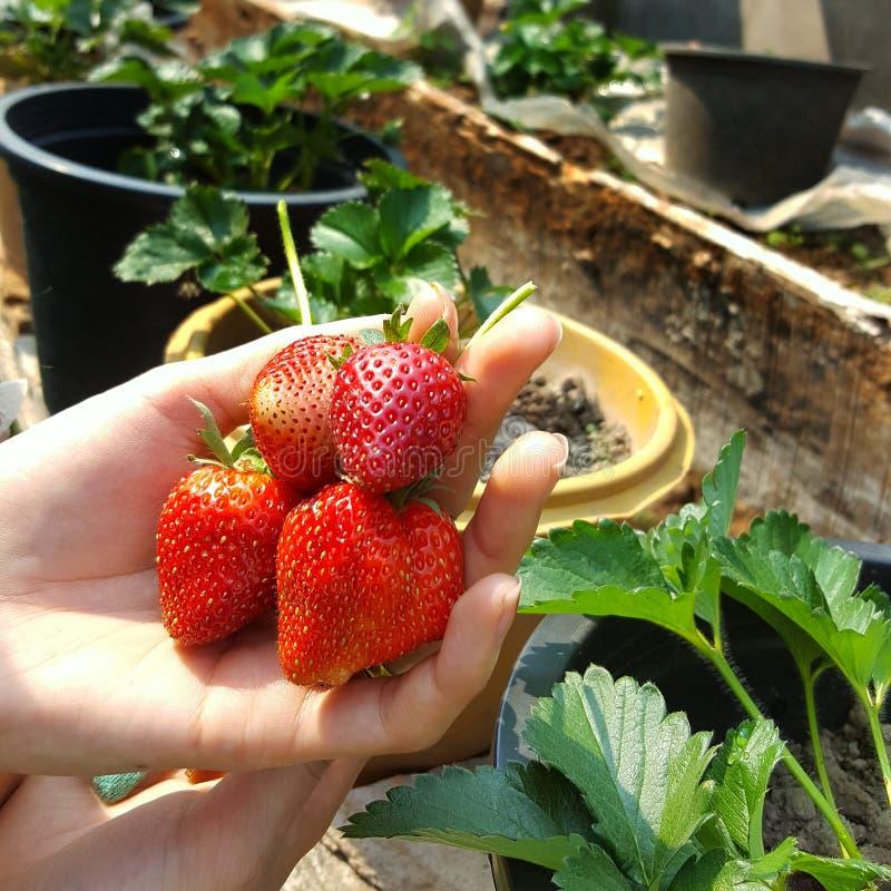 拿着strawberrys的农夫手 免版税库存照片