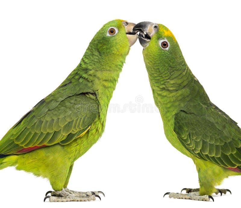 巴拿马亚马逊和黄色被加冠的亚马逊啄 库存照片