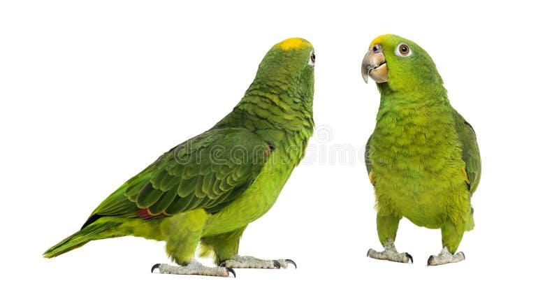 巴拿马亚马逊和黄色被加冠的亚马逊 免版税库存图片
