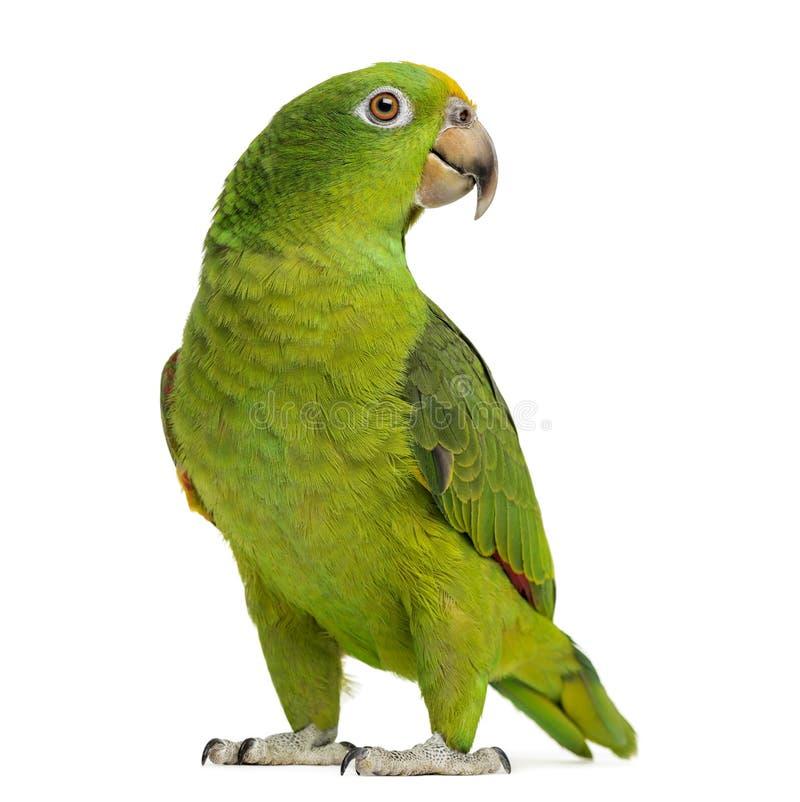 巴拿马黄色带头的亚马逊(5个月) 库存图片