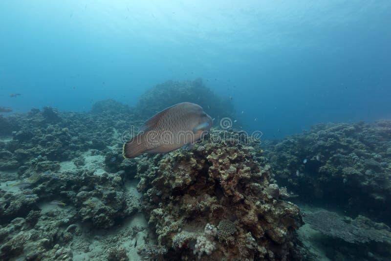 拿破仑濑鱼在红海 库存照片