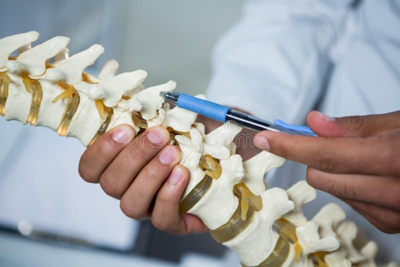 指向脊椎模型的生理治疗师 免版税库存图片