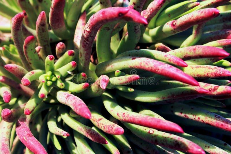 指尖紫色叶子  库存图片
