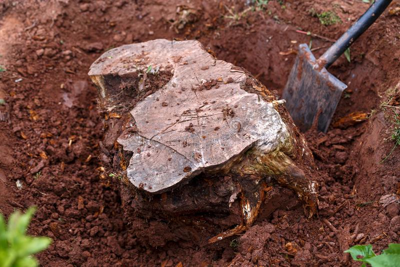挖掘,连根拔一个老树桩在庭院里 免版税库存照片