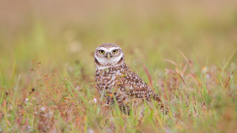 挖洞在看照相机的一个绿色领域的猫头鹰,佛罗里达 库存图片
